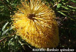 แบงค์เซีย ++ Banksia spinulosa
