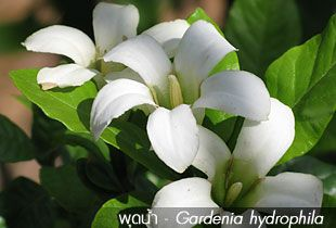 พุดน้ำ – Gardenia hydrophila
