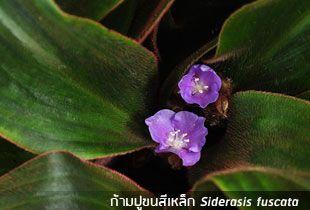 ก้ามปูขนสีเหล็ก ++ Siderasis fuscata