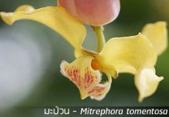 มะป่วน ~ Mitrephora tomentosa