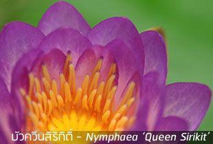 บัวควีนสิริกิติ์ ~ Nymphaea 'Queen Sirikit'