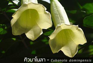 คิวบาโนลา – Cubanola domingensis