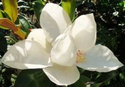 "Magnolia grandiflora ""Little Gem"""