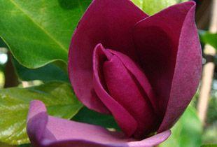 """จำปีแดง => """"Magnolia x soulangeana"""""""