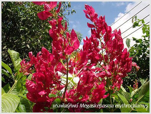แดงพันธุ์ทิพย์ <[Brazillian-Red-Cloak]>
