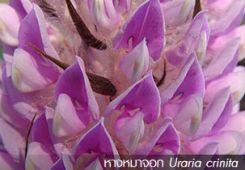หางกระรอก v หางหมาจอก (Uraria crinita)