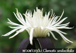 พวงแก้วกุดั่น Clematis smilacifolia