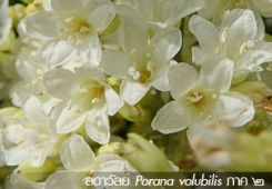 ลดาวัลย์ … Porana volubilis [continue]