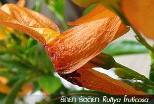 รัถยา รัตติยา (Ruttya fruticosa)