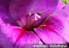แกลดิโอลัส ซ่อนกลิ่นฝรั่ง คำมั่นสัญญา Gladiolus