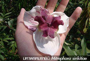มหาพรหมราชินี ~ Mitrephora sirikitiae ~
