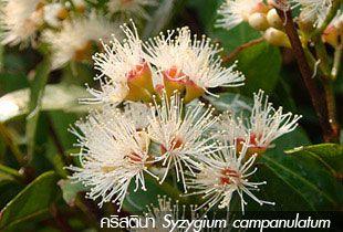 คริสติน่า, แดง, Syzygium campanulatum