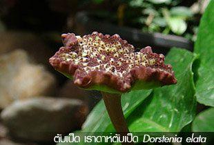 ตับเป็ด เรดาร์ตับเป็ด Dorstenia elata