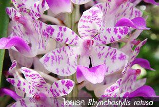 ไอยเรศ Rhynchostylis retusa