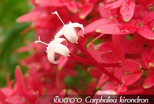 เข็มดาวาว Carphalea kirondron