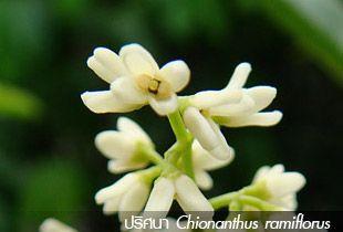 ปริศนา Chionanthus ramiflorus