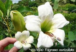 ชะบาช้าง Fagraea auriculata