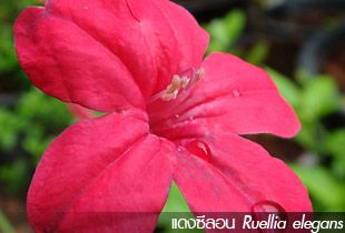 แดงซีลอน ~~~ Ruellia elegans