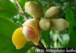 กลาย Mitrephora keithii