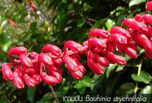 เถาขยัน Bauhinia strychnifolia