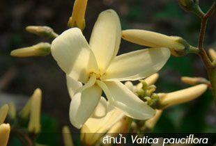 สักน้ำ ++ Vatica pauciflora