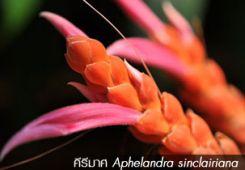 คีรีมาศ ++ Aphelandra sinclairiana