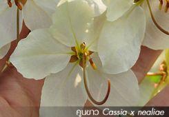 คูนขาว – Cassia 'Siam White'