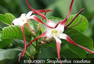ยางน่องเถา – Strophanthus caudatus