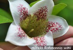 หมักม่อ ++ Rothmannia wittii