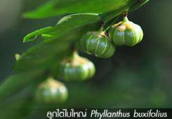 ลูกใต้ใบใหญ่ ++ Phyllanthus buxifolius