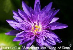 บัวฉลองขวัญ – Nymphaea 'King of Siam'