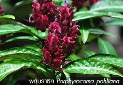 พลุบราซิล ++ Porphyrocoma pohliana