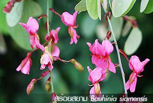 สร้อยสยาม ++ Bauhinia siamensis