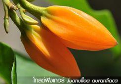 โกลด์ฟิงเกอร์ ++ Juanulloa aurantiaca