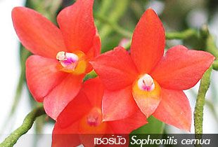 เซอร์นัว – Sophronitis cernua