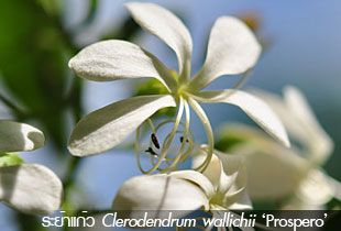 ระย้าแก้ว ~~ Clerodendrum wallichii 'Prospero'