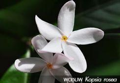 พุดชมพู ++ Kopsia rosea