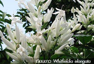 เทียนขาว – Whitfieldia elongata