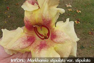 แคหัวหมู ~~ Markhamia stipulata var. stipulata