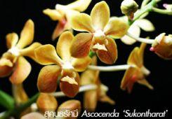 กล้วยไม้แอสโคเซ็นดา 'สุคนธรัศมิ์' ++ Ascocenda 'Sukontharat'