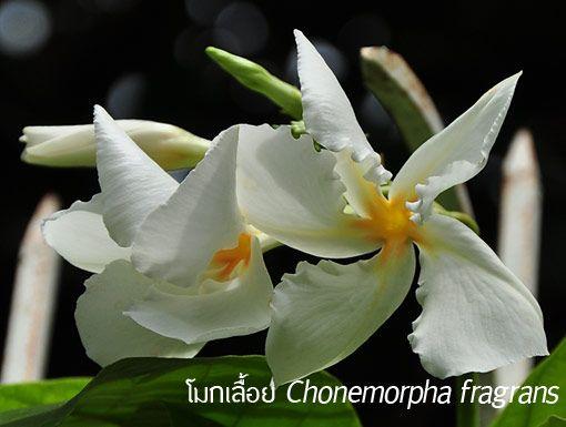 โมกเลื้อย ++ Chonemorpha fragrans