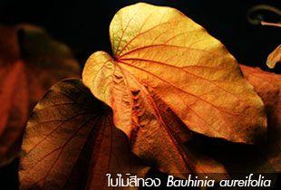 ใบไม้สีทอง ++ Bauhinia aureifolia