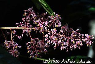 มะจ้ำก้อง – Ardisia colorata