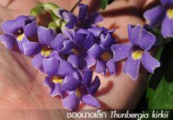 ช้องนางเล็ก – Thunbergia kirkii