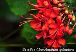 เข็มเครือ ++ Clerodendrum splendens
