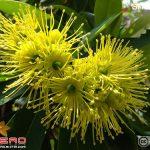 รักแรกพบ (Xanthostemon chrysanthus)