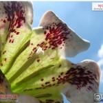 พุดลิลลี่ Rothmannia longiflora