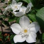 พุดพิชญาดอกใหญ่ (ภาคต่อ) Wrightia antidysenterica