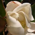 แมกโนเลียไหม้ ๆ มาแล้วคร้าบ ++ Burnt Magnolia