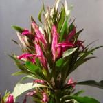 ประกายทับทิม Justicia 'Pink Parfait'
